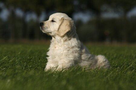 Eigenwijs - Hoi allemaal Hierbij een foto van onze pup Bogyi. Het is een heerlijk eigenwijs mannetje zoals je op deze foto kan zien. Bogyi is in ons leven gek - foto door Evert61 op 27-11-2009 - deze foto bevat: dieren, hond, honden, golden, retriever, goldenretriever