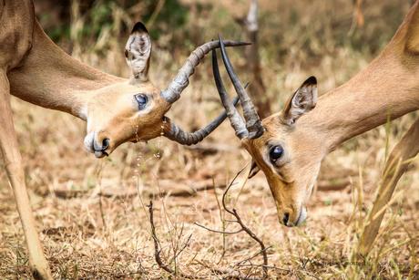 Vechtende Impala's in Chobe National Park, Botswana