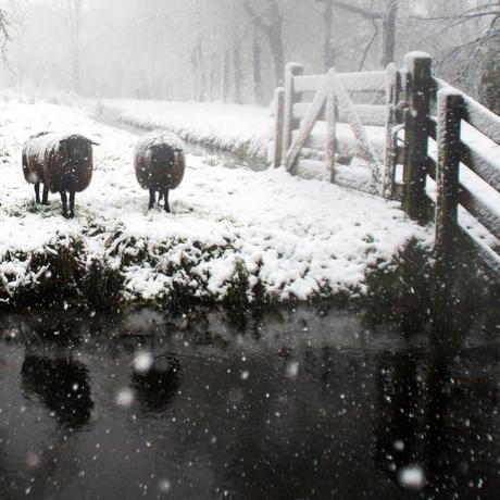 Sneeuw schaapjes