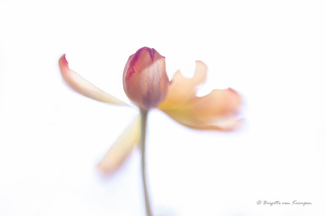 let the light shine on you - High key benadering van een bijna uitgebloeide tulp - foto door Puck101259 op 24-05-2020 - deze foto bevat: macro, wit, bloem, licht, tulp, tegenlicht, sfeer, flora, dof, moody, mood, brigitte, high key