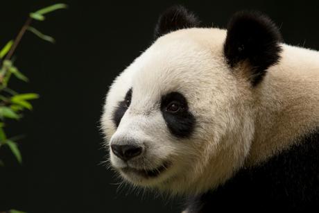 Wu Wen - Reuze Panda