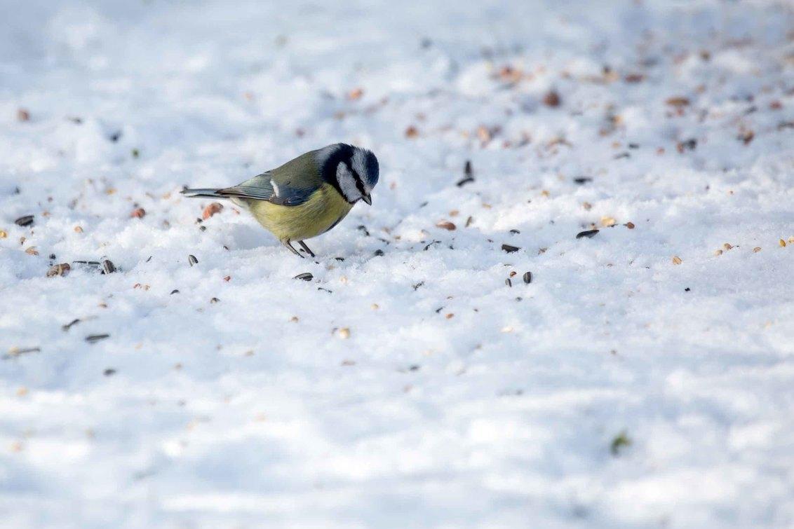 Vogel in de sneeuw - Pimpelmees - foto door bertus52 op 25-02-2021