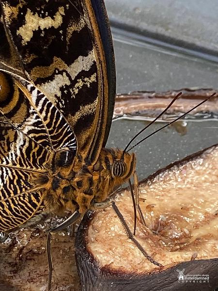 Vlinders aan de Vliet - De Caligo vlinder is herkenbaar aan de grote oogtekeningen onderaan elke vleugel. Bij bedreiging spreidt de Caligovlinder zijn vleugels en ziet de vi - foto door amsterdamned_zoom op 09-10-2020 - deze foto bevat: macro, natuur, vlinder, insect, holland, nederland, vlindertuin, leidschendam, uilvlinder, amsterdamned, vlinders aan de vliet, Zuid Holland