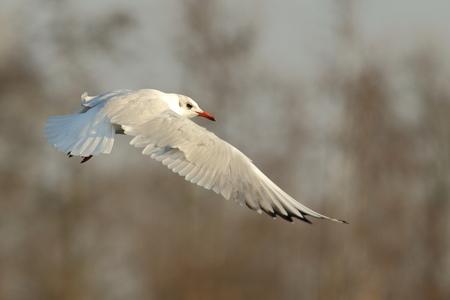 gevleugeld - kokmeeuw - foto door AnneliesV op 07-03-2021 - deze foto bevat: water, meeuw, natuur, vogel, watervogel