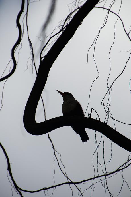 Silhouet grijskopijsvogel