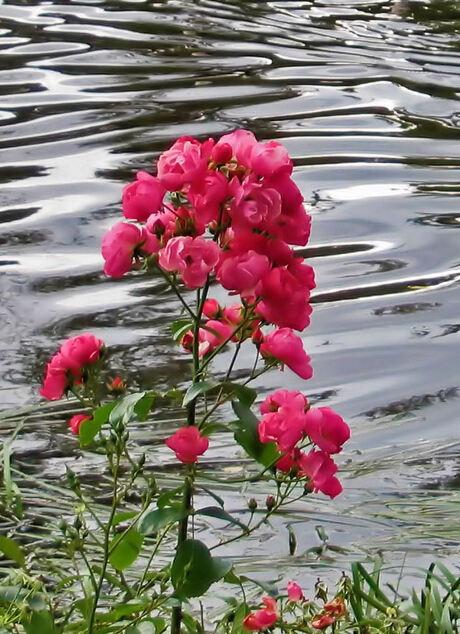 Roos aan waterkant