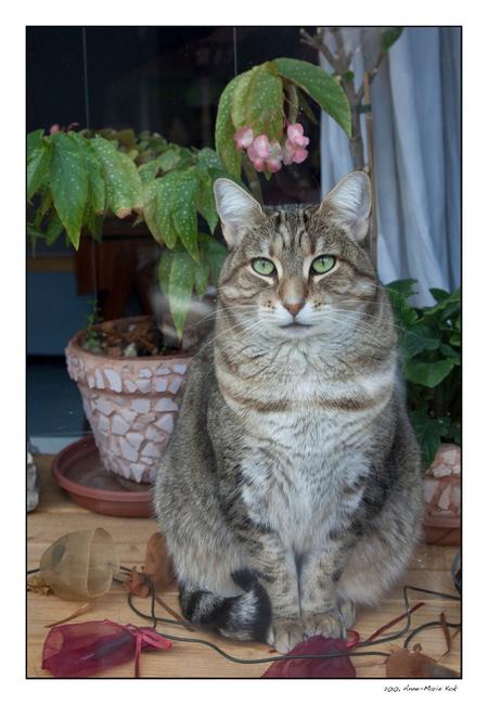 Kat achter raam - Een heel andere foto dan jullie van mijn gewend zijn, maar het plaatje liet me niet los. De kleuren en het kneuterige interieur dat je achter deze ve - foto door Anne-Marie Kok op 30-12-2010 - deze foto bevat: parijs, kat, raam