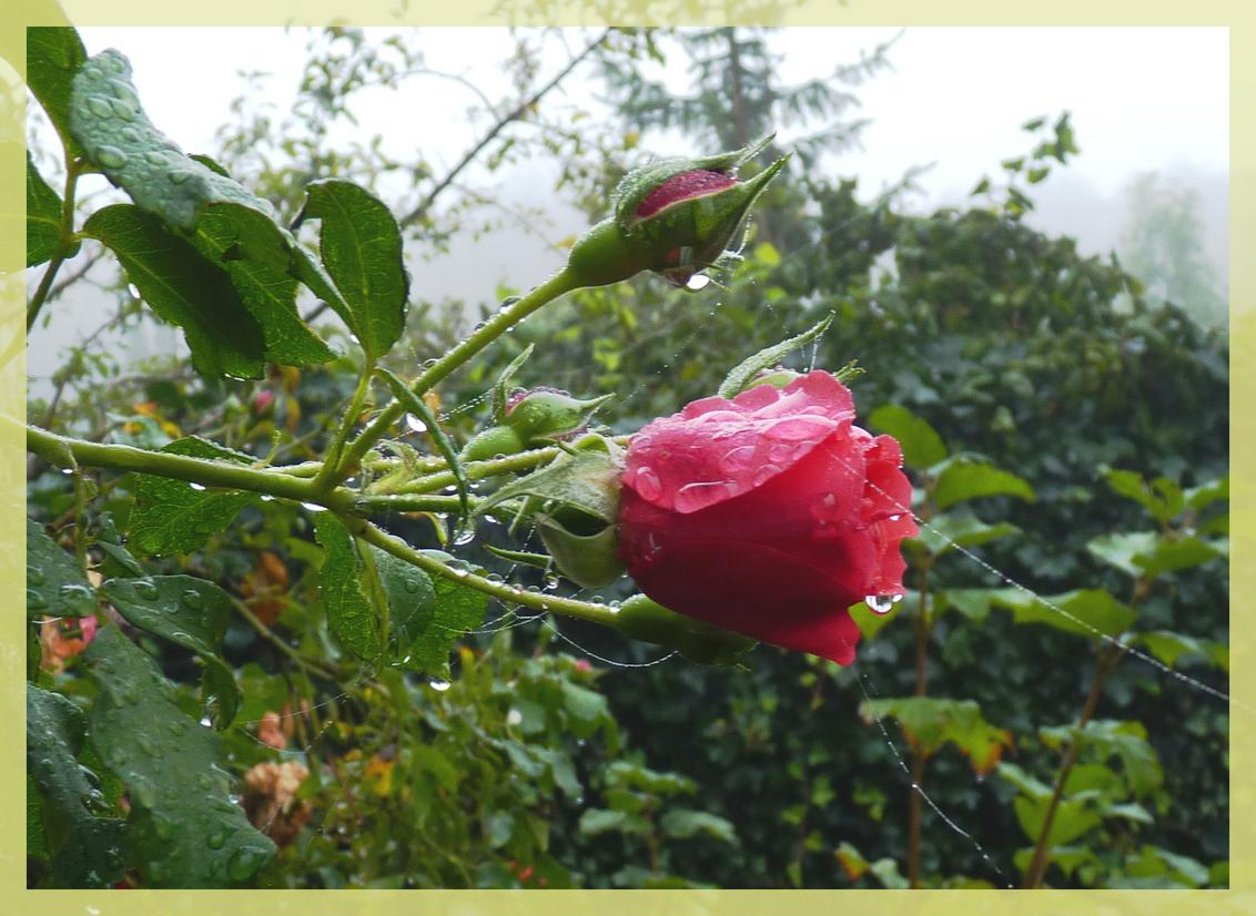 la vie en rose - nog een keer mijn lievelingsroos in de ochtend.. - foto door arthelena op 28-10-2010 - deze foto bevat: bloem, roos, ochtend, spinrag, buiten, dauw, vocht