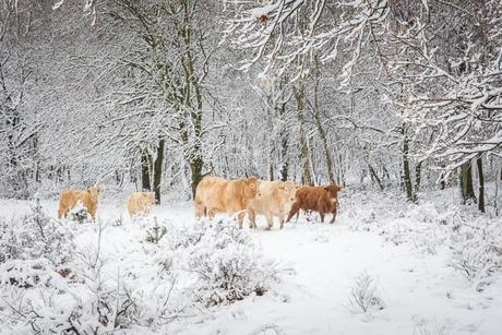 winterslandschap met runderen