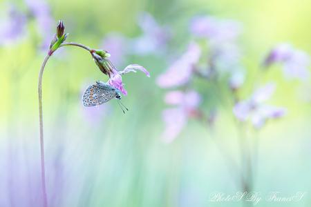 Mooie dromen - Mooier kon ik het niet treffen deze ochtend. De vlinder hing nog op zijn slaapplekje en dat was een prachtige koekoeksbloem. In dit veldje stonden ve - foto door Francis-Dost op 21-05-2018 - deze foto bevat: roze, macro, zon, bloem, lente, natuur, vlinder, insect, dof