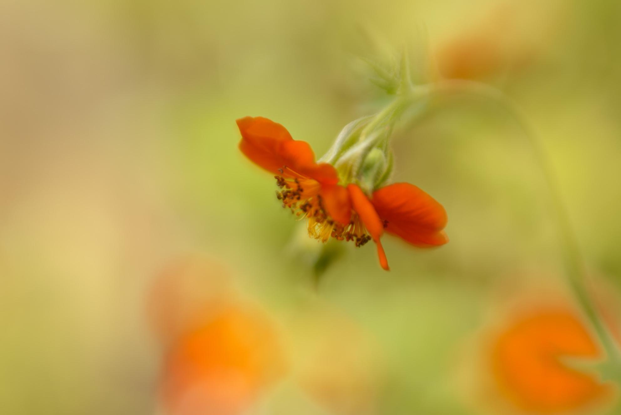 Mijn eigen tuin - Dit is zo'n schitterend bloemetje... Elk jaar liet dit bloemetje haar oranje kleur op 30 april zien. Sinds het een paar dagen eerder Koningsdag is,  - foto door dettyverbon op 30-04-2017 - deze foto bevat: bloem, oranje, tuin - Deze foto mag gebruikt worden in een Zoom.nl publicatie