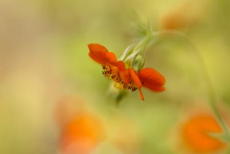 Mijn eigen tuin - Dit is zo'n schitterend bloemetje... Elk jaar liet dit bloemetje haar oranje kleur op 30 april zien. Sinds het een paar dagen eerder Koningsdag is,  - foto door dettyverbon op 30-04-2017 - deze foto bevat: bloem, oranje, tuin
