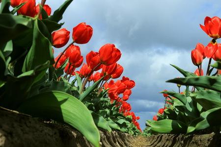 hoge tulpen - Ook van afgelopen zondag, in de omgeving van Lisse.  Groet Roland - foto door ro op 19-04-2017 - deze foto bevat: tulpen, tulp, landschap, landschappen, tulpenveld