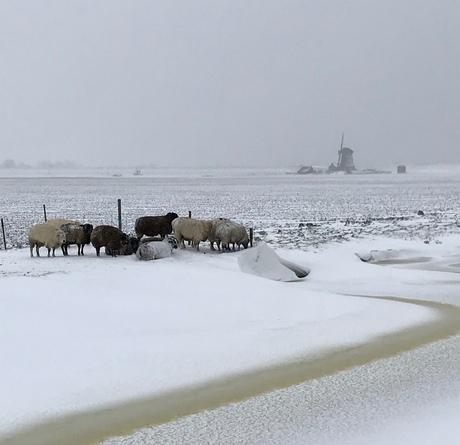 Schaapjes in de sneeuw
