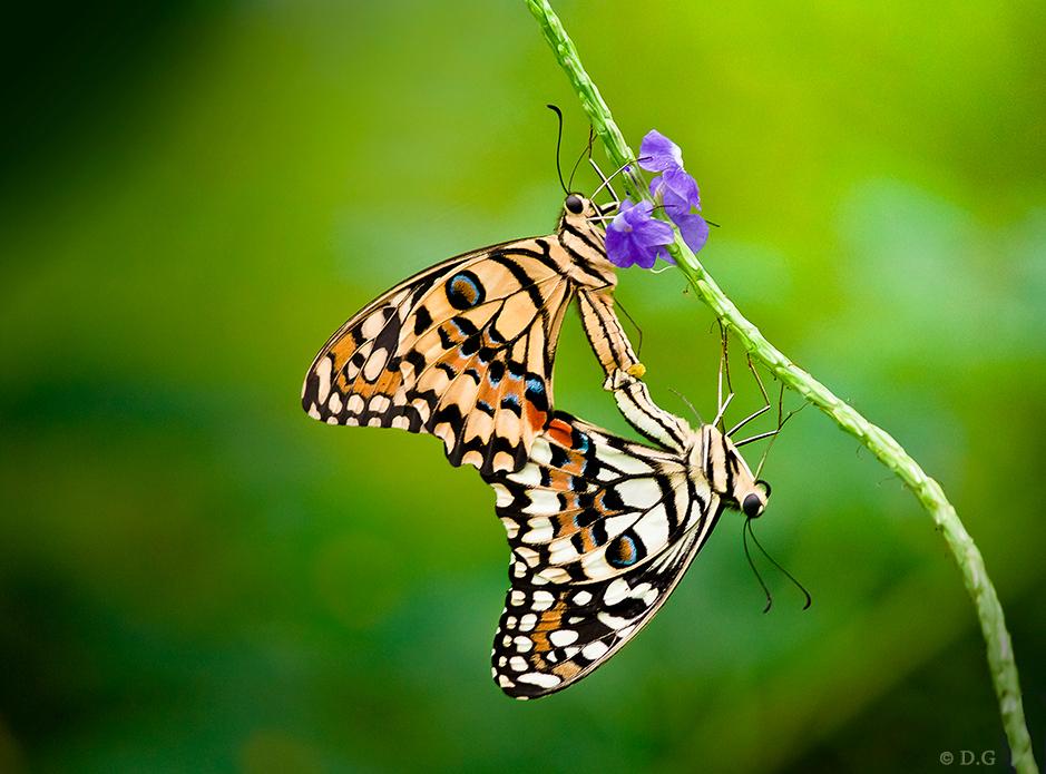 Colour Together - (bekijk 'm in 't groot)  Papilio Demoleus (De Limoen Vlinder) Vlindertuin Havelte.   Tussen alle andere vlinders was dit voor mij toch de echte  - foto door daniel44 op 19-07-2011 - deze foto bevat: kleur, macro, vlinder, vleugels, samen, twee, insekt, vlindertuin, Papilio demoleus, limoen vlinder