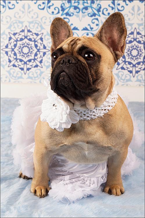 Little Princess - Dit achtergrondje heb ik zelf gemaakt en dat moest natuurlijk uitgeprobeerd worden. Mijn eigen Bulle-kind Femme was een gewillig model. - foto door Silky op 22-07-2012 - deze foto bevat: huisdier, bulldog, hond, studio, fransebulldog