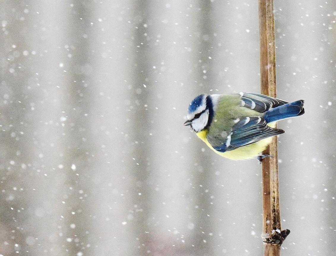 Vlokjes... - Vlokjes belemmeren het zicht van dit pimpeltje. - foto door AdtenHoopen op 28-02-2021 - deze foto bevat: vogel
