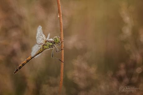 - Bruinrode heidelibel -