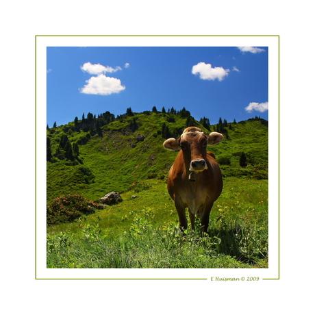 Koe in Oosternrijkslandschap