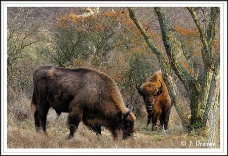 Wisenten - Hier is goed te zien kolossaal deze dieren zijn - foto door janv2 op 12-02-2014 - deze foto bevat: zwaar, hoorn, wisent, bloemendaal, wisenten, kraansvlak
