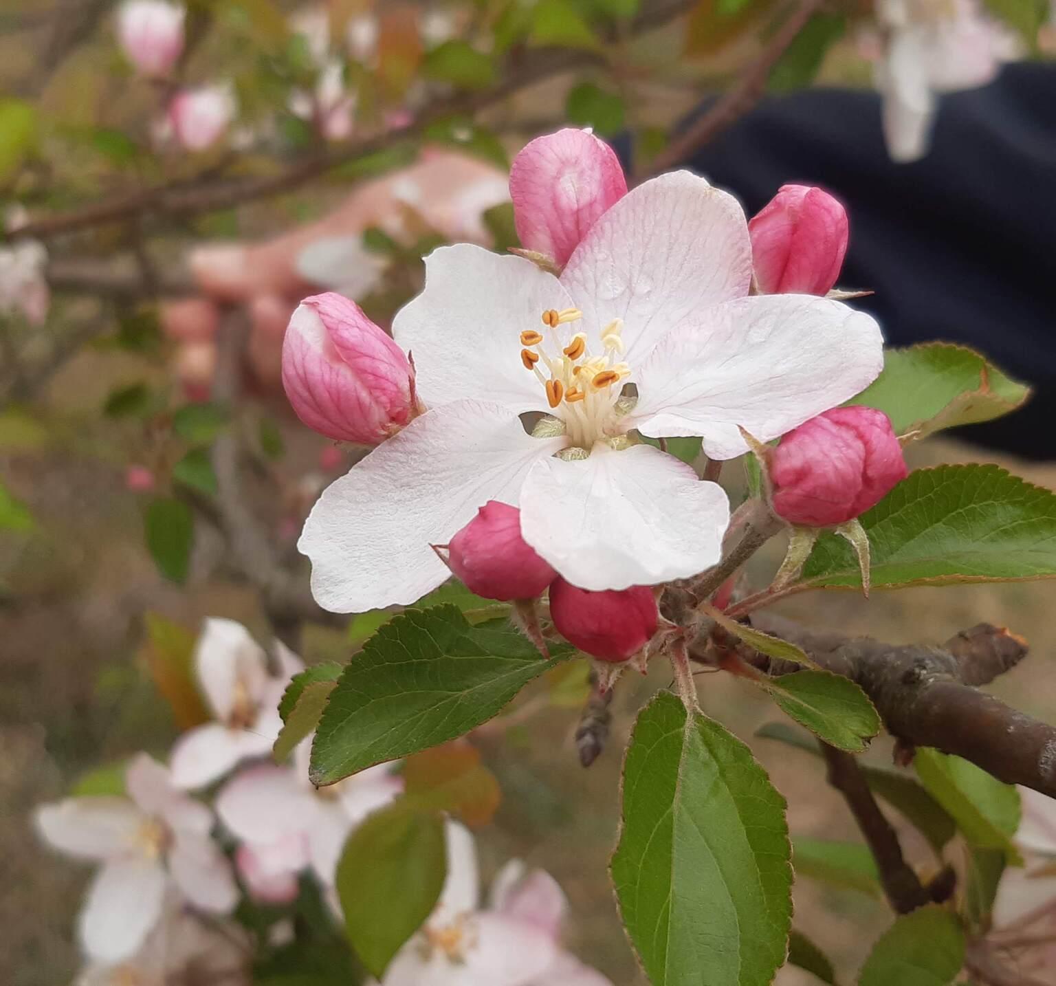 bloesem - op de hei tijdens de corona - foto door Krea10 op 13-04-2021 - locatie: Bussum, Nederland - deze foto bevat: bloem, fabriek, plantkunde, blad, bloemblaadje, afdeling, takje, roze, bloeiende plant, rose familie