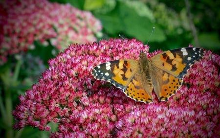 Zoekend - - - foto door Enriko op 06-09-2016 - deze foto bevat: natuur, vlinder, zomer, distelvlinder, insect