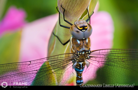 Glazenwasser Libelle - Ze ging er eens goed voor zitten, mevrouw de glazenwasser libelle. En met de roze gladiool op de achtergrond was het plaatje compleet :-) - foto door framefotografie op 25-07-2020 - deze foto bevat: roze, groen, paars, macro, zon, bloem, juffer, natuur, licht, tuin, libel, zomer, insect, glazenwasser