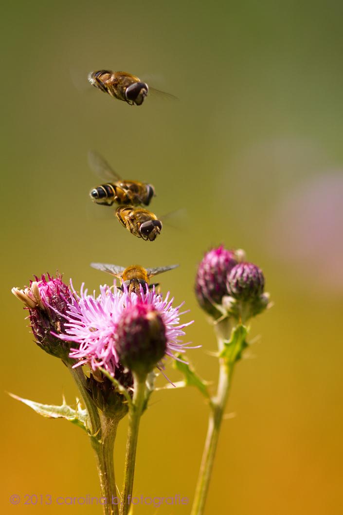 Druk - 't Was druk bij de McDistel. Bedankt voor jullie leuke reacties op Blue Eyes. - foto door brinkbeest op 18-07-2013 - deze foto bevat: natuur, distel, zomer, druk, bijen