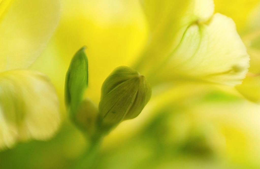 Alstroemeria - Ben ik weer, ff druk gehad met van alles en nog wat. Tussendoor wel bezig geweest met de blomkes op mijn tafel, waarvan dit er ene is.  Hartelijk d - foto door Jozeeke op 25-03-2016 - deze foto bevat: macro, bloem, geel, lensbaby, alstroemeria