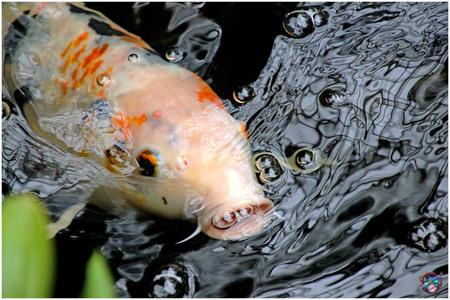 Eh, blub ... - - - foto door willemdanker op 15-12-2018 - deze foto bevat: vis, blub, luttelgeest, orchideeenhoeve