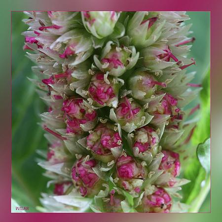 Klein..... - Al deze mooie kleine kleurrijke bloemetjes zijn dan weer onder deel van de gehele bloem....ben er iedere keer weer van onder de indruk van wat je zie - foto door wilma71_zoom op 12-05-2010 - deze foto bevat: bloem, klein