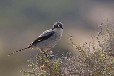 Zuidelijke klapekster (6) - Gran Canaria