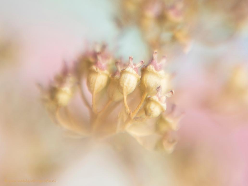 """Zacht...... - Wat veel reacties nog op mijn vorige upload ' Nooit verwacht. Voor een ieder die gereageerd heeft: """"Dankjewel"""", ik ben er erg blij mee.  groetjes, - foto door watikziefotografie op 19-04-2018 - deze foto bevat: roze, macro, wit, bloem, lente, natuur, bruin, klein, geel, licht, tuin, hortensia, voorjaar, deel, lensbaby, creatief, dof, zachte kleuren, creatieve fotografie, sweet 50"""
