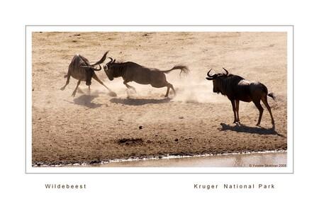 Wilde beesten - Dat de gnoe ook wel wildebeest wordt genoemd is niet vreemd. Ze maken vreemde sprongen, hollen achter elkaar aan en jagen daarmee ook andere dieren d - foto door Giraffe op 03-02-2009 - deze foto bevat: safari, gnoe, stof, kruger, wildebeest, gnu, travelphotography, zuid-afrika
