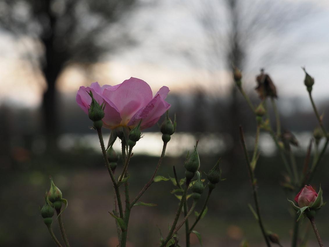 Doorzetters - Ook in de wandeling van Zondag ,om de plas van het oude Floriade terrein in Hoofddorp .. Deze doorzetters sierden nog mooi voor de plas. - foto door pietsnoeier op 10-11-2015 - deze foto bevat: macro, bloem, natuur, roos, herfst, rozen, landschap, tegenlicht, dof, lila, bokeh, haarlemmermeersebos