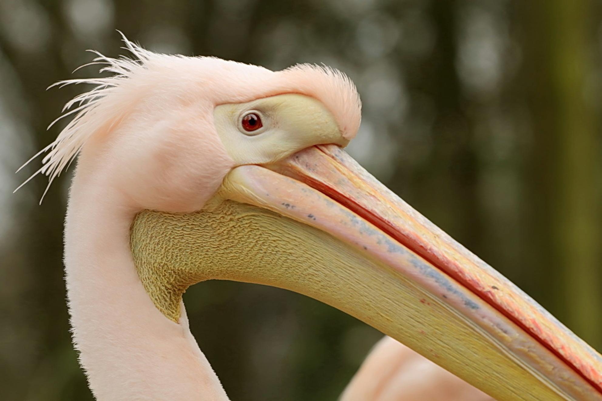 pelikaan - Ook van gisteren tijdens ons bezoek bij Ouwehands dierenpark.  Groet Roland - foto door ro op 12-04-2015 - deze foto bevat: dierentuin, dieren, pelikaan, Ouwehand Dierenpark - Deze foto mag gebruikt worden in een Zoom.nl publicatie