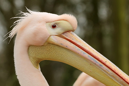 pelikaan - Ook van gisteren tijdens ons bezoek bij Ouwehands dierenpark.  Groet Roland - foto door ro op 12-04-2015 - deze foto bevat: dierentuin, dieren, pelikaan, Ouwehand Dierenpark