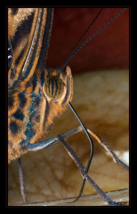 Morfo vlinder