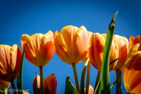 Tulips & sun