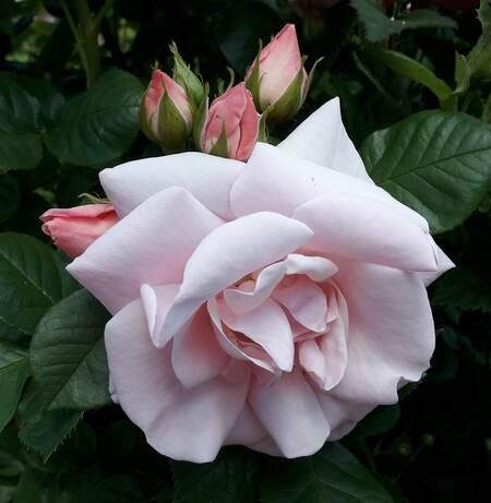 was roosje in de knop - tere roos in de tuin - foto door Krea10 op 15-04-2021 - locatie: Huizen, Nederland - deze foto bevat: bloem, fabriek, bloemblaadje, blad, kruidachtige plant, roos, bodembedekker, struik, hybride thee roos, rose familie