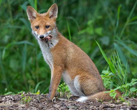 Portret van een jonge vos met prooi