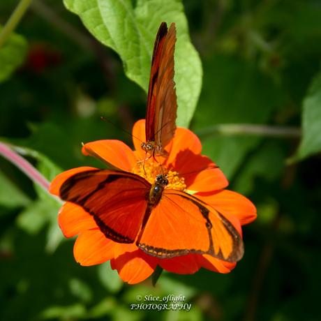 Oranje Passiebloem vlinder