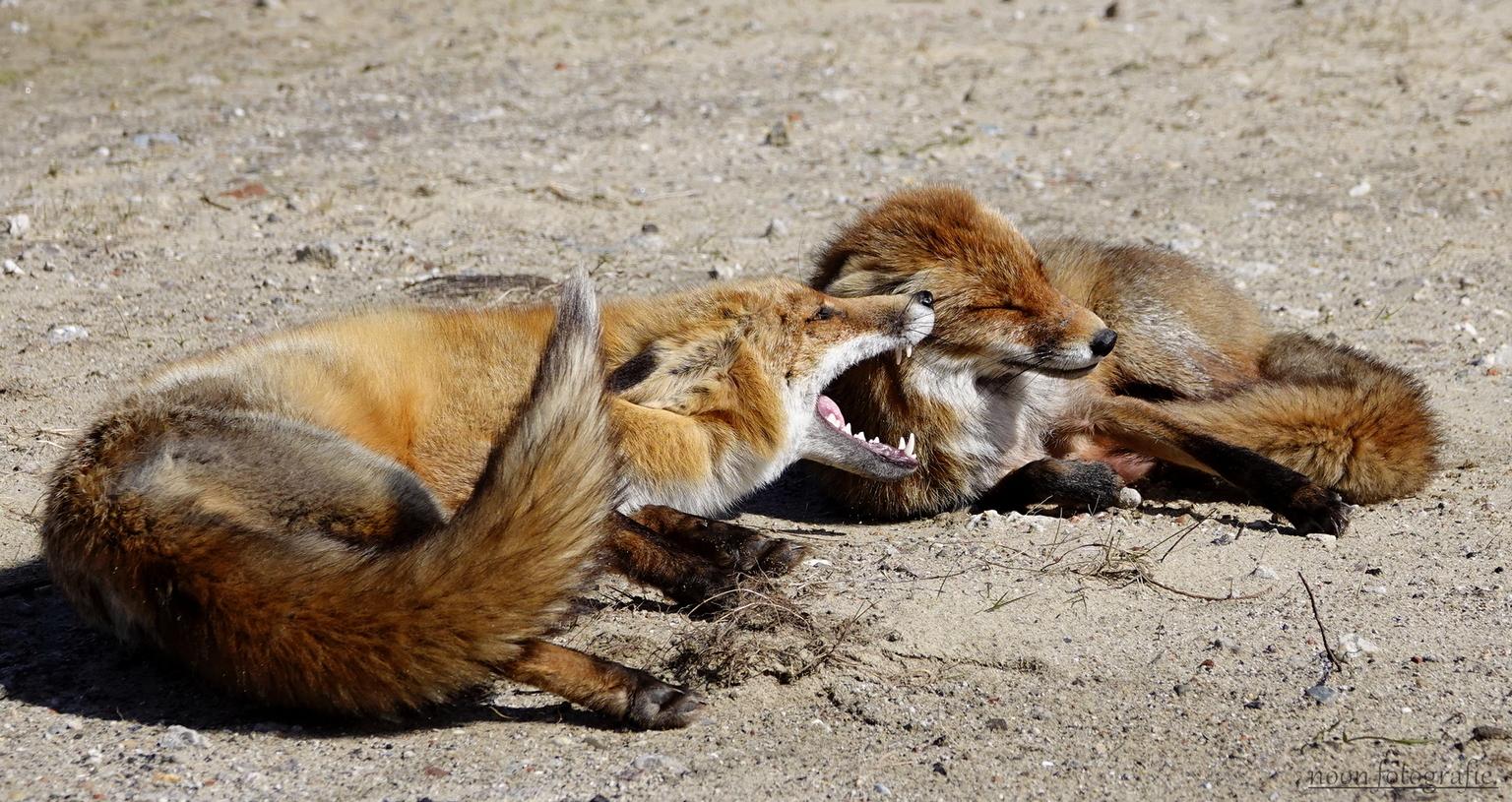 vossen. - 2 vossen die mekaar begroeten. - foto door nonoos op 15-04-2021 - deze foto bevat: vos, vossen, vossenfotografie, fotografie, dieren, dierenfotografie, natuur, natuurfotografie, wild, wildfotografie, duinen, nederland, carnivoor, felidae, fawn, hondenras, terrestrische dieren, vos, bakkebaarden, snuit, grote katten, staart