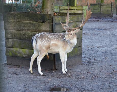 Hert in Schotens park