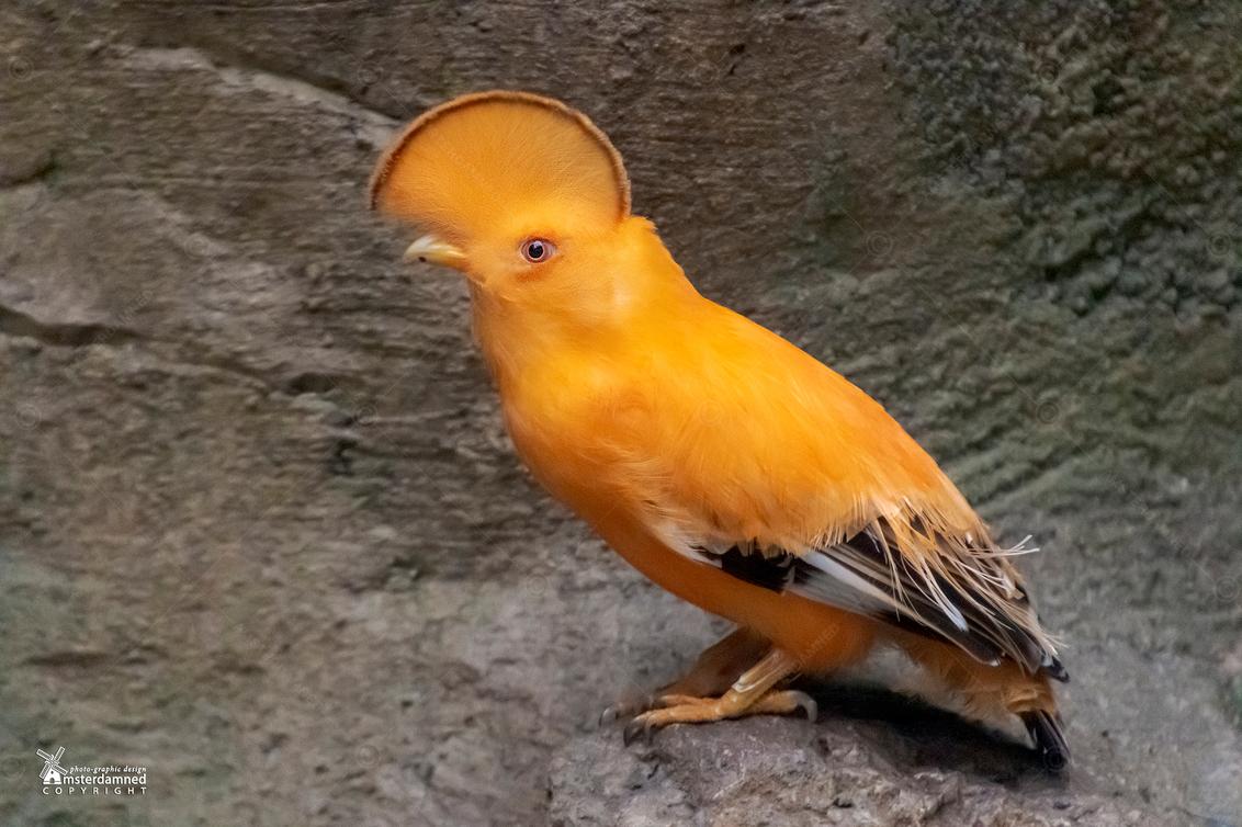 Oranje Rotshaan - In het Centraal Suriname Reservaat leeft diep verstopt in het regenwoud de Oranje Rotshaan. De vogel zou zo uit een Walt Disney film gestapt kunnen z - foto door amsterdamned_zoom op 08-01-2021 - deze foto bevat: dieren, vogel, dier, holland, nederland, suriname, regenwoud, amsterdamned, Zuid Holland, rotshaan, oranje rotshaan, centraal suriname
