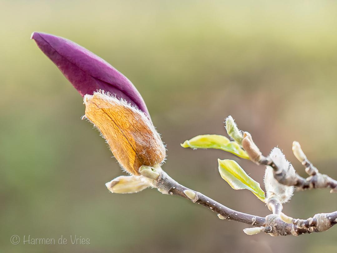 Magnolia in knop - Resultaat van een poging om uit de hand met de burstmodus tot een aanvaardbare focusstack van in dit geval vier foto's te komen.    camera: Nikon D55 - foto door hjdevries op 17-04-2021 - deze foto bevat: macro, magnolia, voorjaar, lente, bloemen, bloei, knop, focusstacking, bloem, fabriek, takje, afdeling, bloemblaadje, terrestrische plant, natuurlijk landschap, pedicel, bloeiende plant, macrofotografie