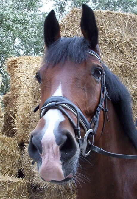 mooi paardenhoofd