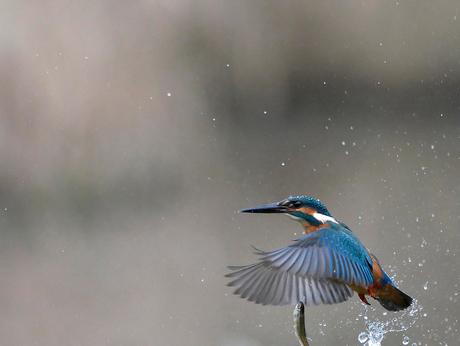 Ijsvogel vangt vis, bijna...