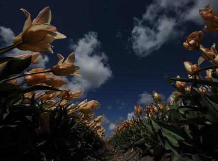 Van Onder... - Naar de Hemel....en eindeloos... Gisteren maar is de Groothoek gepakt ...en tussen de tulpen - foto door pietsnoeier op 29-04-2015 - deze foto bevat: groen, lucht, wolken, bloem, tulpen, natuur, geel, blad, landschap, dof, bokeh