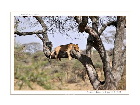 Lion in tree Serengeti II